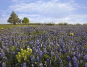 Tim Fitzharris - Bluebonnet and Lemon Paintbrush meadow near Albany, Texas