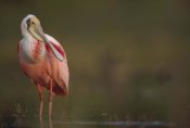 Tim Fitzharris - Roseate Spoonbill adult in breeding plumage, North America