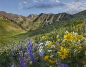 Tim Fitzharris - Larkspur and sunflowers, Albion Basin, Wasatch Range, Utah