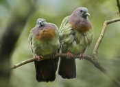 Tim Fitzharris - Pink-necked Green-Pigeon pair, Jurong Bird Park, Singapore