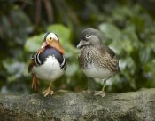 Tim Fitzharris - Mandarin Duck male and female, Jurong Bird Park, Singapore