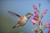 Tim Fitzharris - Rufous Hummingbird juvenile feeding on flowers, New Mexico