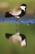 Tim Fitzharris - Spur-winged Plover with its reflection at waterhole, Kenya