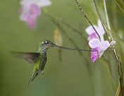 Tim Fitzharris - Sword-billed Hummingbird feeding on flower nectar, Ecuador