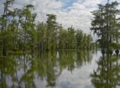 Tim Fitzharris - Bald Cypress swamp, Cypress Island, Lake Martin, Louisiana