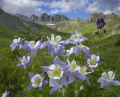 Tim Fitzharris - Colorado Blue Columbine meadow at American Basin, Colorado