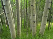 Tim Fitzharris - Aspen forest in spring, Gunnison National Forest, Colorado