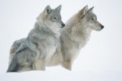 Tim Fitzharris - Timber Wolf portrait of pair sitting in snow, North America
