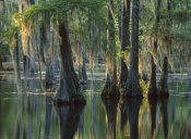 Tim Fitzharris - Bald Cypress swamp, Sam Houston Jones State Park, Louisiana