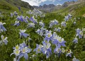 Tim Fitzharris - Colorado Blue Columbine flowers in American Basin, Colorado