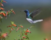 Tim Fitzharris - White-necked Jacobin hummingbird, male foraging, Costa Rica
