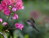 Tim Fitzharris - Magnificent Hummingbird female feeding at flower, Costa Rica