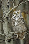 Tim Fitzharris - Great Horned Owl pale form, perched in tree, Alberta, Canada