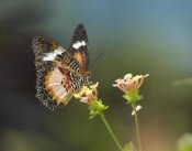 Tim Fitzharris - Nymphalid Butterfly feeding on flower nectar, native to Asia