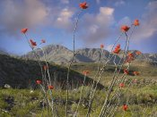Tim Fitzharris - Ocotillo Big Bend Ranch State Park, Chihuahuan Desert, Texas