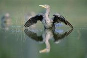 Tim Fitzharris - Double-crested Cormorant stretching its wings, North America