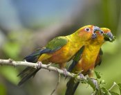 Tim Fitzharris - Sun Parakeet pair feeding on leaves, native to South America