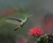 Tim Fitzharris - Rufous-tailed Hummingbird at Fairy Duster flower, Costa Rica