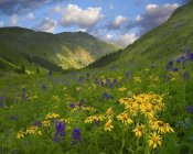 Tim Fitzharris - Orange Sneezeweed and Delphinium in American Basin, Colorado