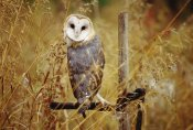 Tim Fitzharris - Barn Owl perching among dry grasses, British Columbia, Canada