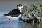 Tim Fitzharris - Black-winged Stilt mother with three chicks, Camargue, France