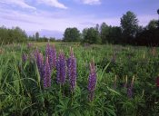 Tim Fitzharris - Lupine in meadow near crescent beach, British Columbia, Canada