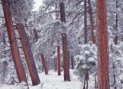 Tim Fitzharris - Ponderosa Pines with snow, Grand Canyon National Park, Arizona