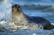 Tim Fitzharris - Northern Elephant Seal female in splashing surf, North America