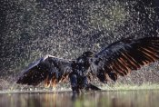 Tim Fitzharris - Bald Eagle juvenile bathing in river, British Columbia, Canada