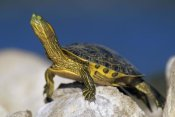 Tim Fitzharris - Yellow-bellied Slider turtle, portrait, on rock, North America