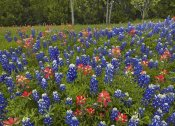 Tim Fitzharris - Bluebonnet and Paintbrush meadow, Cedar Hill State Park, Texas
