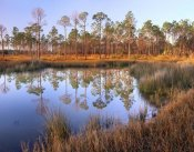 Tim Fitzharris - Pines reflected in pond near Piney Point, Hagen's Cove, Florida