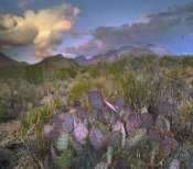 Tim Fitzharris - Opuntia cactus, Chisos Mountains, Big Bend National Park, Texas