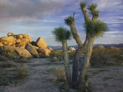 Tim Fitzharris - Joshua Tree and boulders, Joshua Tree National Park, California