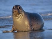 Tim Fitzharris - Northern Elephant Seal female laying on beach, California coast