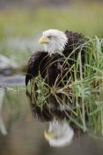Tim Fitzharris - Bald Eagle with reflection at the edge of a lake, North America