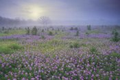 Tim Fitzharris - Sand Verbena flower field at sunrise in fog, Hill Country, Texas