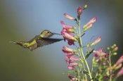 Tim Fitzharris - Broad-tailed Hummingbird juvenile feeding on flowers, New Mexico