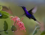 Tim Fitzharris - Violet Sabre-wing male hummingbird feeding at flower, Costa Rica