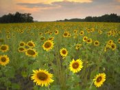 Tim Fitzharris - Field of sunflowers, Flint Hills National Wildlife Refuge, Kansas
