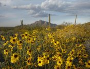 Tim Fitzharris - Saguaro cacti and Brittlebush at Picacho Peak State Park, Arizona