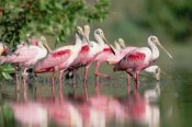 Tim Fitzharris - Roseate Spoonbill flock wading in pond, Texas coast near Galveston