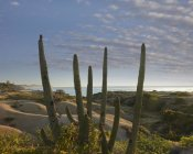 Tim Fitzharris - Organ Pipe Cactus overlooking Chelino Bay, Baja California, Mexico