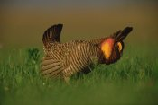 Tim Fitzharris - Greater Prairie Chicken male in courtship display, Eagle Lake, Texas