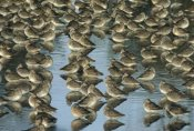 Tim Fitzharris - Long-billed Dowitcher flock sleeping in shallow water, North America