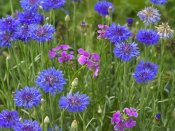Tim Fitzharris - Cornflower and Pointed Phlox blooming in grassy field, North America