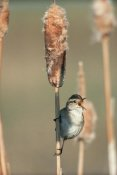 Tim Fitzharris - Marsh Wren singing while perching on a Common Cattail, North America