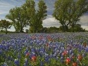 Tim Fitzharris - Sand Bluebonnets and Indian Paintbrush in bloom, Hill Country, Texas