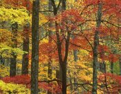 Tim Fitzharris - Maple trees in autumn, Great Smoky Mountains National Park, Tennessee