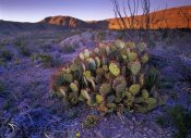 Tim Fitzharris - Opuntia in Chihuahuan Desert landscape, Big Bend National Park, Texas